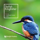 Stylish Kingfisher